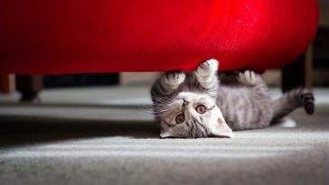 Grey kitty under the red sofa Ultra HD Wallpaper 3840x2160