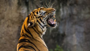 Tiger Roaring Photo Wallpaper