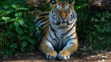 Tiger desktop wallpaper background photo free download size 3840x2160