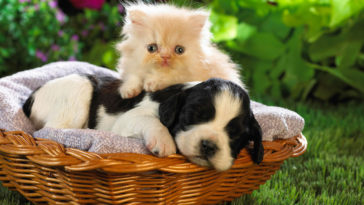 Cute Puppy and Kitten Photo Wallpaper HD