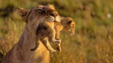 Mother Lion Carrying Her Cub Photo Desktop Background