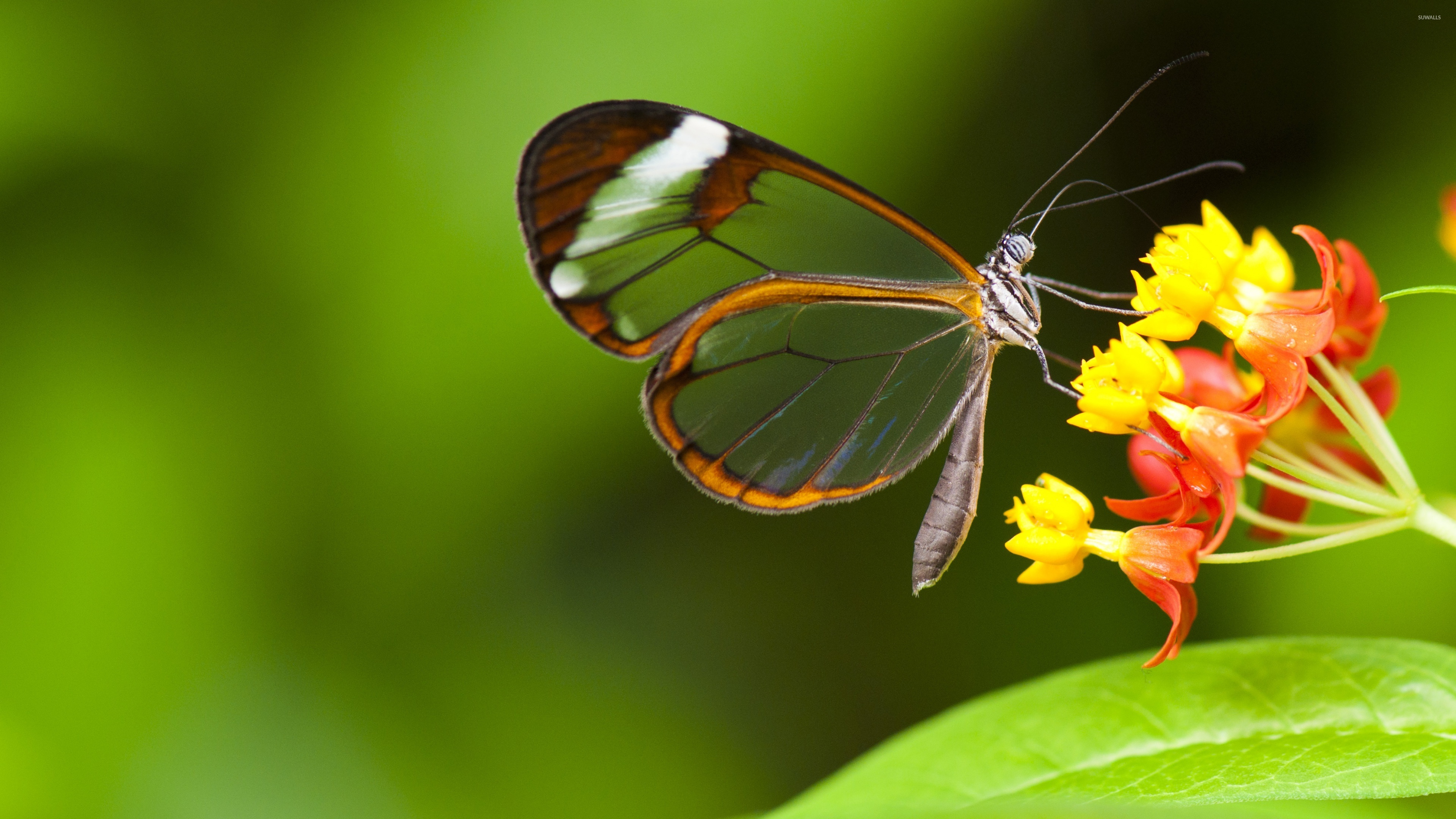 Greta Oto Glasswing Butterfly Photo Background for Desktop