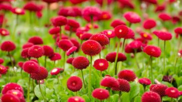 Beautiful Small Red Flowers Field Wallpaper