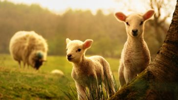 Cute Lambs Play Near Mother 4K Animal Wallpaper