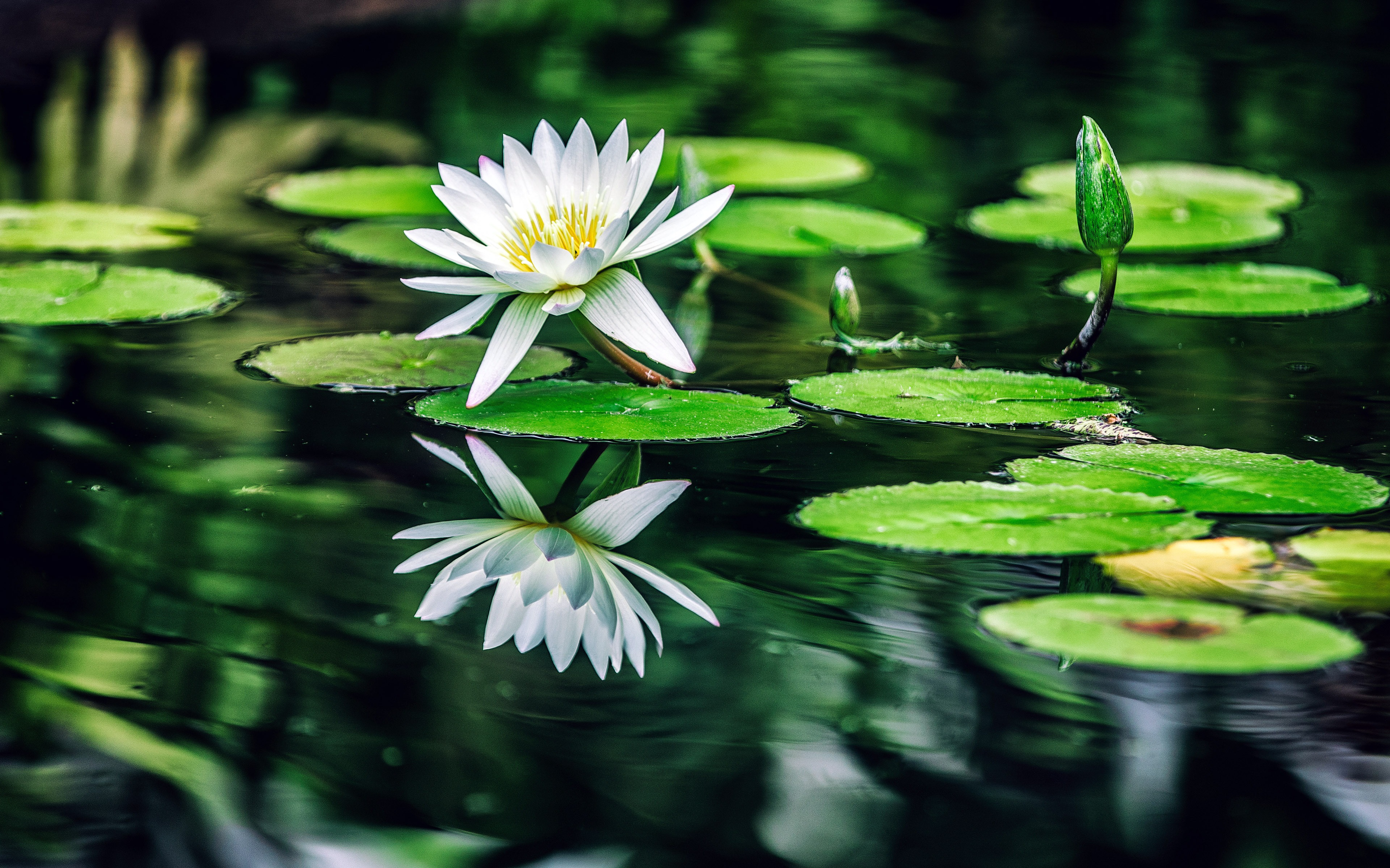 White Water Lilies Green Leaves Pool Wallpaper 3840x2400