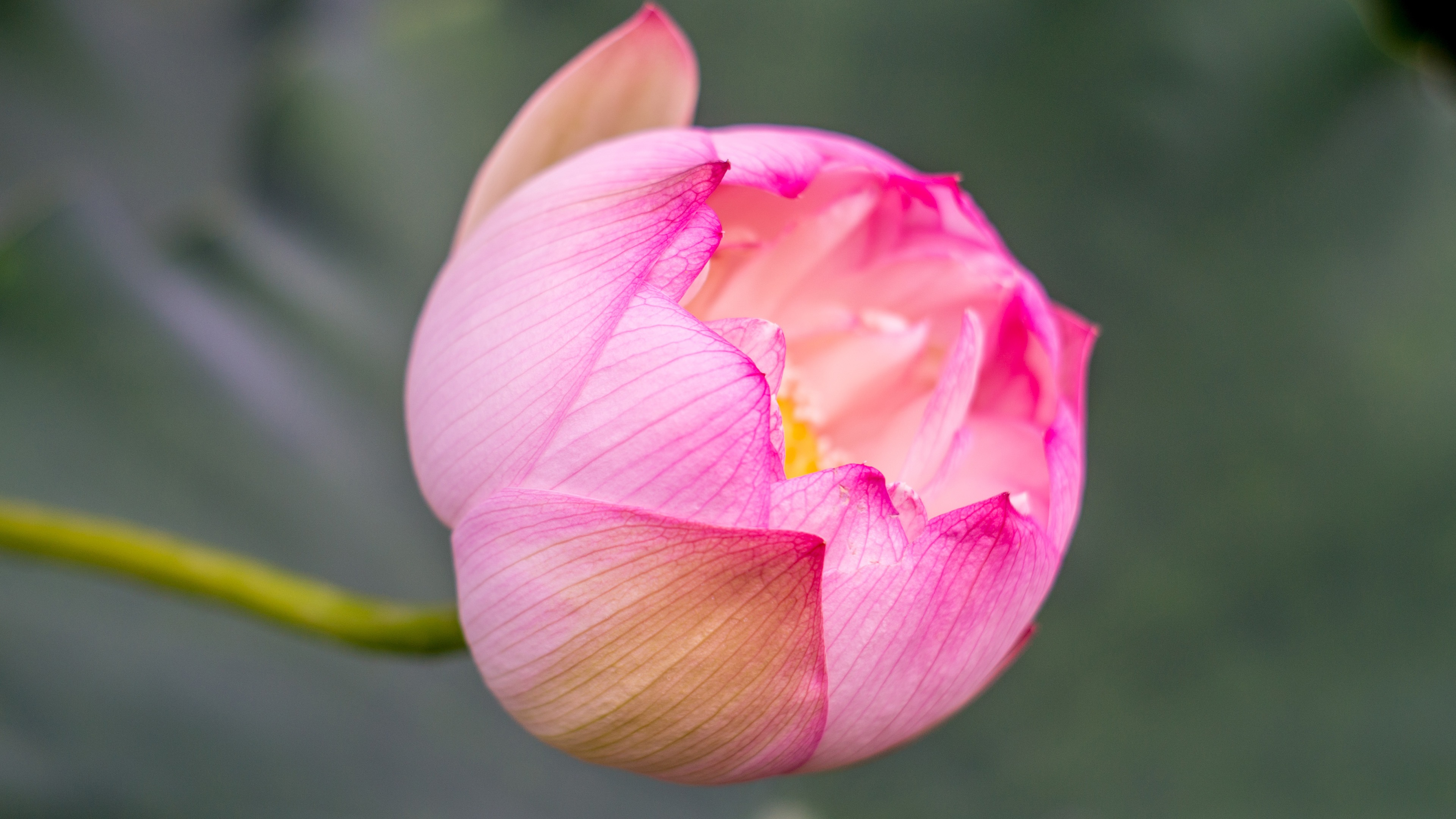 Pink Lotus Bud HD Photo Wallpaper 4K Free Download