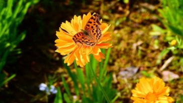 Chrysanthemum Butterfly Nature HD Photo Background 4K